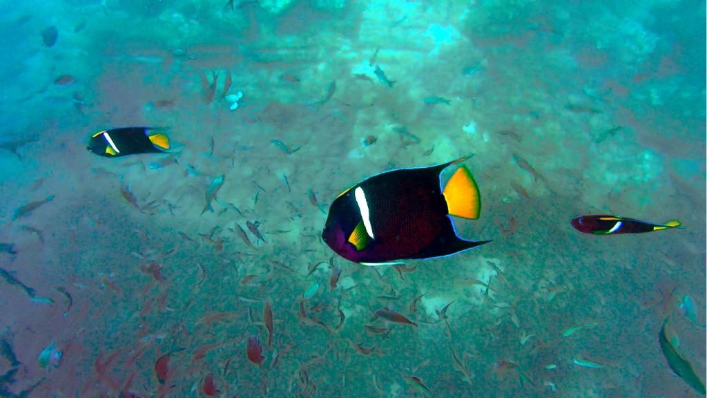 Császárhalak és társaik