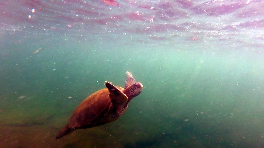 Csendes-óceáni levesteknős